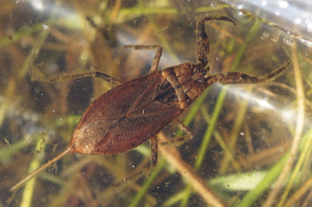 Water scorpion (Nepa cinerea). Family waterscorpions (Nepidae).