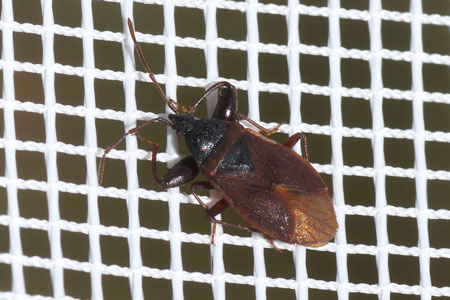 Pine Cone Bug (Gastrodes grossipes). Subfamily Rhyparochrominae. Family Seed Bugs or Ground Bugs (Lygaeidae).