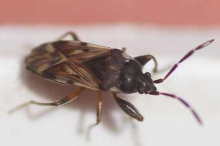 Scolopostethus decoratus. Tribe Drymini. Subfamily Rhyparochrominae. Family Seed Bugs or Ground Bugs (Lygaeidae).