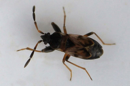 Scolopostethus thomsoni. Tribe Drymini. Subfamily Rhyparochrominae. Family Seed Bugs or Ground Bugs (Lygaeidae).
