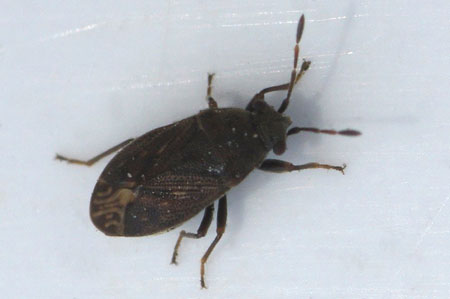 Stygnocoris fuligineus. Tribe Drymini. Subfamily Rhyparochrominae. Family Seed Bugs or Ground Bugs (Lygaeidae).
