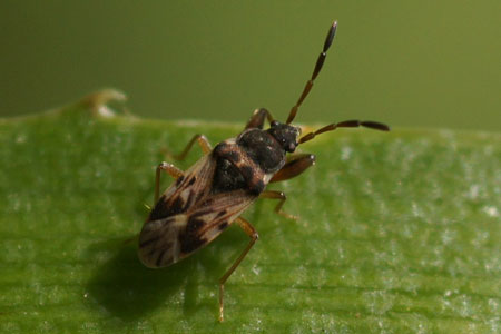 Maybe!!!!!  Scolopostethus affinis. Subfamily Rhyparochrominae. Family Seed Bugs or Ground Bugs (Lygaeidae).