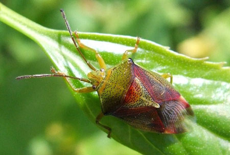 Birch Shield Bug, Birch Bug (Elasmostethus interstinctus). Family Acanthosomatidae.