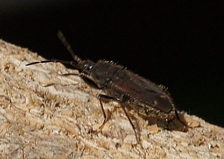 Eremocoris plebejus. Tribe Drymini. Subfamily Rhyparochrominae. Family Seed Bugs or Ground Bugs (Lygaeidae).