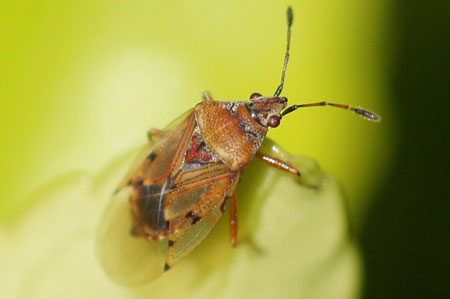 Birch Catkin Bug (Kleidocerys resedae). Family: Seed Bugs or Ground Bugs (Lygaeidae).