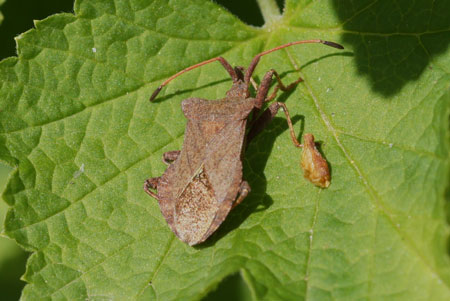 Zuringwants, zuringrandwants, lederwants (Coreus marginatus)