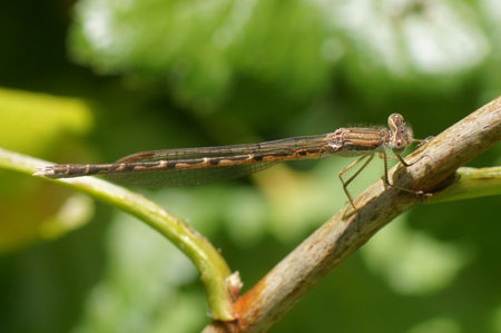 Common Winter Damselfly (Sympecma fusca). Family spreadwings (Lestidae).