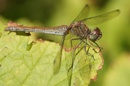 Common Darter (Sympetrum striolatum). Family Libellulidae.