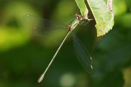 Willow Emerald Damselfly (Lestes viridis or Chalcolestes viridis). Family spreadwings (Lestidae).