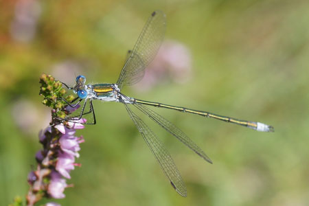 Emerald Damselfly, Common Spreadwing (Lestes sponsa). Male. Family spreadwings (Lestidae).