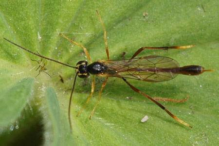An other small Ichneumon wasp. Subfamily Anomaloninae. Family Ichneumon wasps, Ichneumonidae