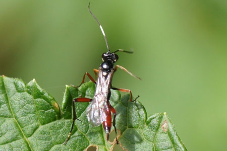 Exetastes-F-adpressori. (Probably) Tribe Banchini. Subfamily Banchinae. Family Ichneumon wasps, Ichneumonidae.