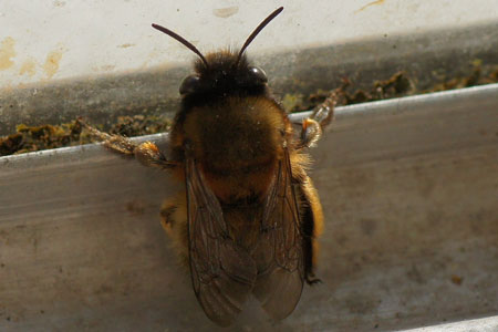 Hairy-Footed Flower Bee (Anthophora plumipes). female. Subfamily Apinae. Family Apidae.
