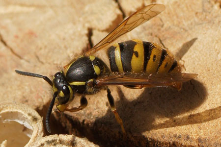 Common wasp (Vespa vulgaris). queen Family Social Wasps (Vespidae).