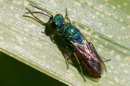 Ruby-tailed wasp, jewel wasp, cuckoo wasp. Family Chrysididae.  Probably Chrysis ignita.