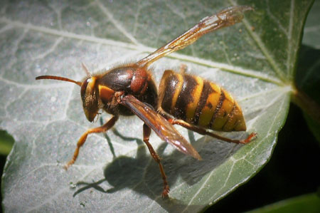 Median wasp (Dolichovespula media). Family Social Wasps (Vespidae).