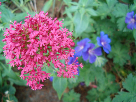 valerian or Jupiter's beard.