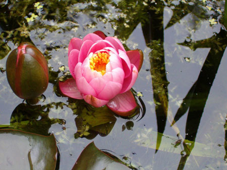 waterlelie (Nymphaea firecrest)