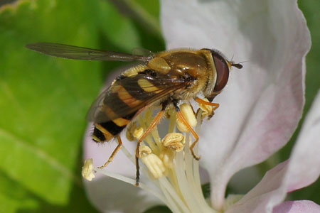 Common banded hoverfly (Syrphus ribesii).  Genus: Syrphus.